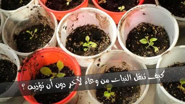 نقل النبات من أصيص إلى اخر أكبر حجما