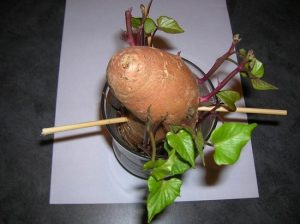 زراعه البطاطا