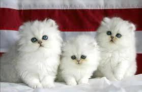 القطط المنزلية