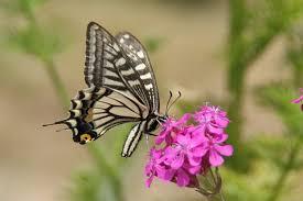 صور ومعلومات عن الفراشات