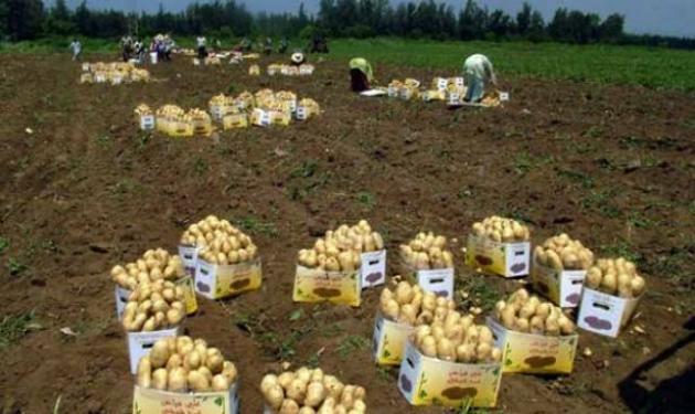 زراعه البطاطا في سوريا