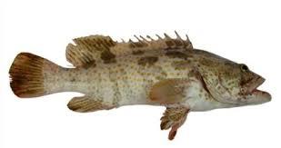 فوائد سمك الهامور