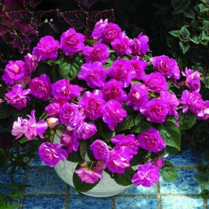hot-sale-rare-purple-univalve-geranium-seeds