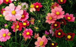 pink_cosmos_flowers-wide