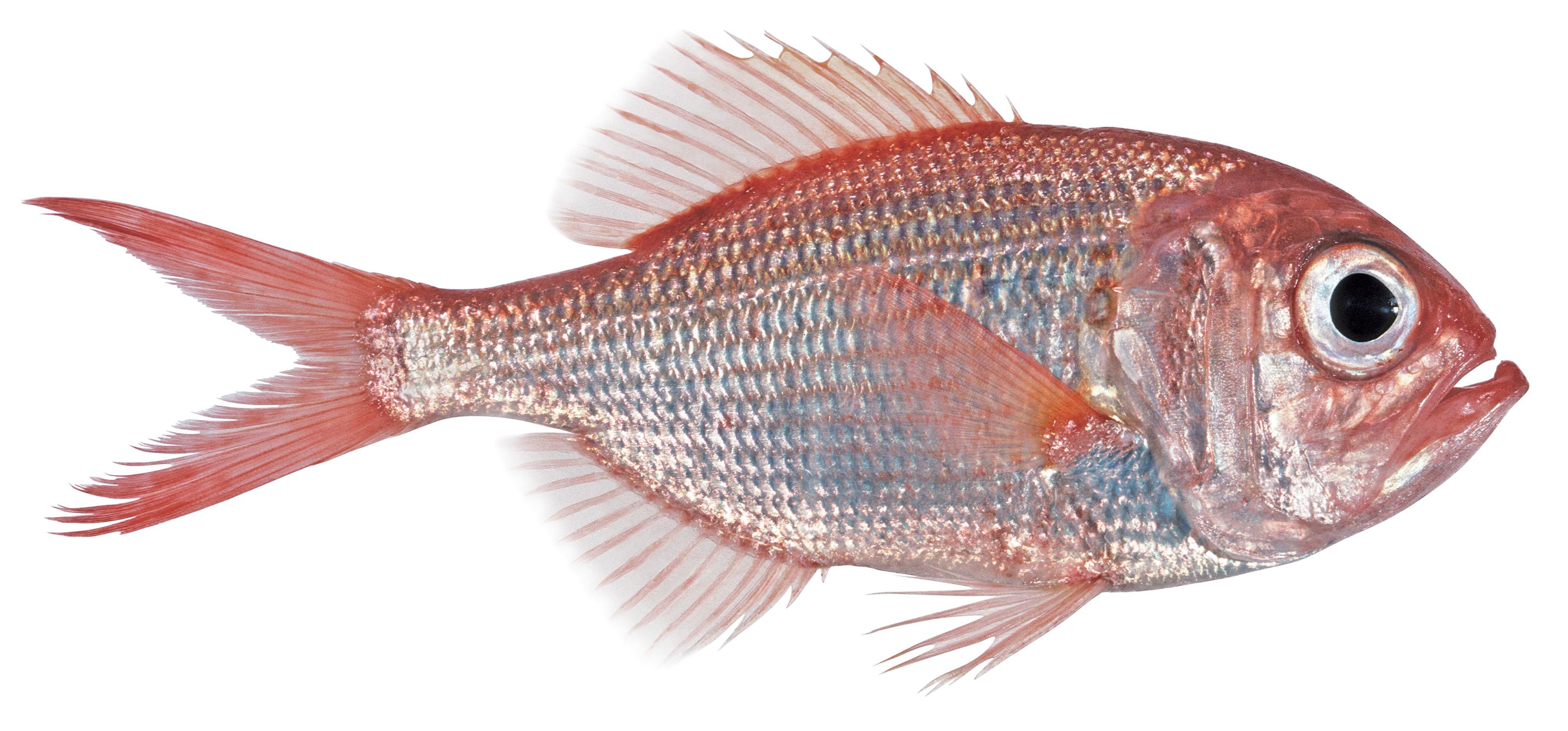 افضل انواع السمك في السعودية